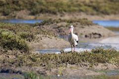 White Stork - Ciconia ciconia (L.Mikonranta) Tags: ciccic ciconia kattohaikara white stork portugal faro ilhadeserta desertisland riaformosa