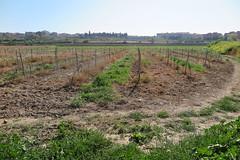 Camps enverinats, Vilafranca del Penedès (esta_ahi) Tags: vilafrancadelpenedès herbicida veneno muerte camídesantpau penedès barcelona spain españa vinya viña viñedo vineyard vitisvinifera