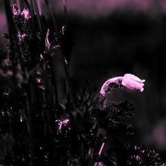 Glow In The Dark? [explored 8.5.'17] (Benny aka WortLichtMaler) Tags: hss happy sliders sunday flower darklight canon 70 300 l lens tele natur nature natura sliderssunday contrast macro dark light
