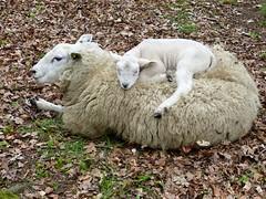 Never seen this before, so cute. (Cajaflez) Tags: animal zoogdier schaap sheep lamb lammetje coth5 ngc npc ruby10 fabuleuse ruby15