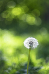 Gentle As A Whisper (Fourteenfoottiger) Tags: fluffy happy one solo alone dof depthoffield blur haze rich dreamy bright dandelion dandelionseedhead seeds springtime spring bokeh swirlybokeh bubblebokeh backlit green weeds flowers plants gentle soft pretty delicate wish makeawish helios44m manualfocus fujixt1 swirly magical lowpov wildflowers halo bubbles sunlight sunshine sundown