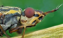 Dorycera (Can Tunçer) Tags: cantunçer can cantuncer canon macro makro macros macrophotography micro mikro makros microscop microscope mitutoyo mitu5x stack stacking studio setup sinek fly tunçer turkey turkiye türkiye tuncer izmir ikea jansö stuido