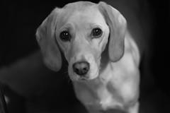 (sopo_chinchaladze) Tags: dog mydog helios444 helios blackandwithe spanador canon
