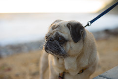_DSC6262 (bill stanton) Tags: carl carlzeiss zeiss 50mm 17 manual zony sony sonyalpha sonya7 sonya7ii sonya7m2 a7 a7ii a7m2 alpha mirrorless pug puppy pugs dog beach shoreline los angeles california sanpedro san pedro cute sweet hug love adorable
