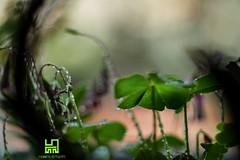 CURIOSANDO (Lace1952) Tags: fiori primavera pioggia gocce foglie controluce boccioli sottobosco bosco sfocato bokeh panasoniclumixmicro43