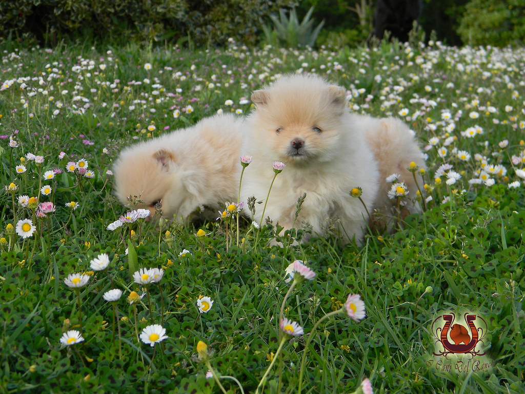 Cuccioli Volpino Di Pomerania (Allevamento Volpino Di Pomerania I Cani Del  Ranch) Tags: