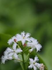 ミツガシワ (Polotaro) Tags: mzuikodigital45mmf18 flower nature olympus epm2 pen 花 自然 オリンパス ペン ミツガシワ 4月