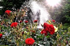 「噴水とバラと太陽(先週日曜撮影) ~市川市国府台・里見公園」 Red Roses