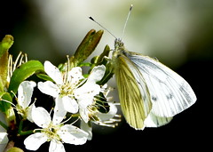 Sunshine through my wings. (pstone646) Tags: butterfly nature feeding plant flower wildlife insect white bokeh closeup animal sunshine flowers fauna flora kent ashford ngc