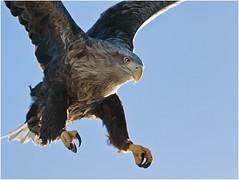 White-tailed Eagle (Antony Ward) Tags: norway birds raptors closeup whitetailedeagle