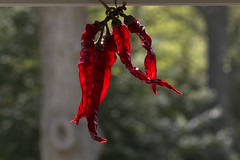 Spicy Light (brucetopher) Tags: flickrfriday spice spicy spicey redhot chile red hot pepper peppers capsaicin capsicum heat light backlight backlit lighting bokeh sparkle transparent seethrough translucent ruby sihouette warmth warm glow glowing radiant ablaze taste tasty burn cook cooking food foody dry drying cayenne caliente