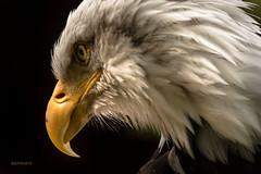the Predator (jeff.white18) Tags: eagle baldeagle preditor birdofprey bird closeup portrait