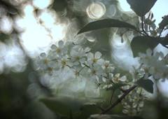 Dance with me (ursulamller900) Tags: trioplan2950 white blossoms bokeh spring frühling padus traubenkirsche