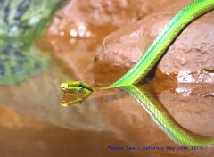 Getting into the Swim of Things.. (law_keven) Tags: snakes snake redtailedgreenratsnake birmingham uk dudleyzoologicalgardens dudley theblackcountry zoos zoo wildlife animals