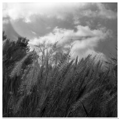 wheat glow (bc50099) Tags: hasselblad500cm zeiss80mmt 6x6 tmy tmax expiredtmy modifieddiafineinetjoker55a5b yellow2 field blackwhite monochrome wind square