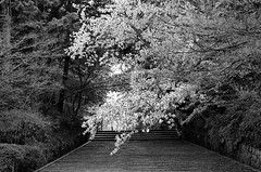 Sakura in the temple (Purple Field) Tags: contax g2 rangefinder carl zeiss g sonnar 90mmf20 fuji neopan iso100 acros bw monochrome film 35mm analog nagaokakyo kyoto japan temple walking コンタックス レンジファインダー カール・ツァイス ゾナー 富士 ネオパン 白黒 モノクロ フィルム アナログ 銀塩 長岡京 京都 日本 散歩 寺 桜 cherry slope step 坂道 階段