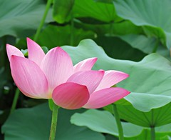 pink and green (oneroadlucky) Tags: nature plant flower pink green lotus waterlily