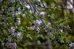 (DJ Fortune) Tags: canon5dmarkiii niksolftware blossoms tree trees floweringtrees