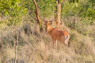 Kongoni (Alcephalus busephalus cokii)
