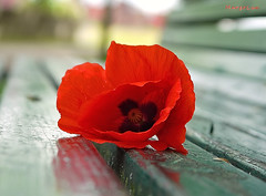 It's May ... (MargoLuc) Tags: poppy red flower bench spring wildflower may sunlight bokeh backlight walk park reflection perspective green