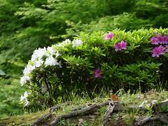 P1004194 (digitalbear) Tags: panasonic lumix gh5 sumida river kiyosumi garden eidai bridge tokyo japan sharehotel lyuro skytree fukagawameshi miyako yakatabune