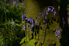 The bluebells (PentlandPirate of the North) Tags: bluebell scholargreen cheshire