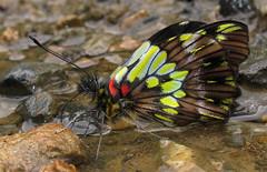 Leodonta tellane (hippobosca) Tags: butterflylepidoptera peru pieridae leodontatellane