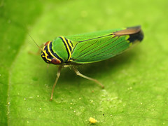 Leafhopper (treegrow) Tags: washingtondc rockcreekpark lifeonearth nature canonpowershotsx40hs raynoxdcr250 arthropoda insect hemiptera tylozygusgeometricus taxonomy:binomial=tylozygusgeometricus cicadellidae