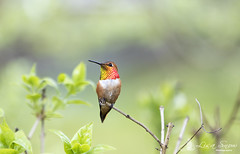 097A8469_edit_resized_wm (Lisa Snow Photography) Tags: rufous hummingbird malerufous