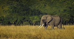 Lone Traveler (Ania Tuzel Photography) Tags: spring wildlife evening savannah elephant elephantidae lonetraveler loxodontaafricana kenya beautyinnature tusks maleelephant journey masaimara africa