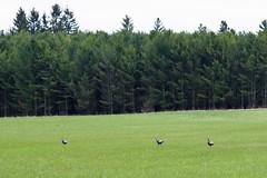 Posse of Turkeys (Marilah) Tags: posseofturkeys posse raftler gang tukey turkeys wildturkeys wild doorcounty baileysharbor evergreen pinetrees trees field grass