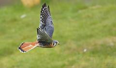 PICCOLO (babsbaron) Tags: natur tiere animals bird vogel falke buntfalke falcon colour colourful wildpark lüneburg flugshow