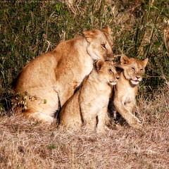 One plus two (simonjmarlan) Tags: lions serengeti africa wildlife cute cats
