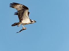 Osprey with fish (Ed Rosack) Tags: usa osprey 25hawkskiteseaglesandallies bird bluecypresslake centralflorida withprey flight ©edrosack florida bif ospr pandionhaliaetus verobeach