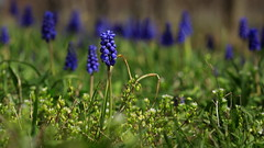 Just One (Bert CR) Tags: blossoms niagara niagaraescarpment spring springblossoms muscari favorite justone shootingblind pov nature weeds