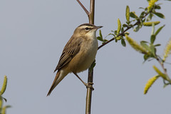 Sedge Warbler (andyno43) Tags: animal nature canon1dx canonef600mm bird canon country common framptonmarsh hedgerow wildlife lincolnshire little small outdoor perched reserve sedgewarbler