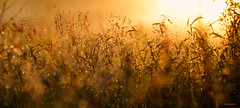 magic sunset (Simon[L]) Tags: sunset grass mist droplets golden kilfittmakrokilar90mmf28 ooc