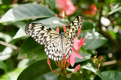 Butterfly 2017-0446 (MVMoorePhotography) Tags: noord aruba butterfly nature colorful caribbean vacation