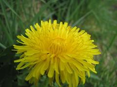 Löwenzahn - Dandelion - Taraxacum sect. Ruderalia (elisabeth.mcghee) Tags: löwenzahn dandelion yellow gelb blume plant pflanze flower taraxacum sect ruderalia