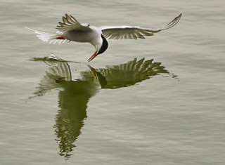 Common Tern On The Wing
