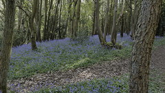 Hartshill Hayes Bluebells 23rd April 2017 (boddle (Steve Hart)) Tags: hartshill hayes bluebells 23rd april 2017 steve hart boddle steven bruce wyke road wyken coventry united kingdon england great britain canon 5d mk4 6d 100400mm is usm ii 2470mm standard 815mm fisheyes lens 1635mm l wideangle wide angle 100mm prime macro laowa 15mm f4 11 wild wilds wildlife life nature natural bird birds flowers flower fungii fungus insect insects spiders butterfly moth butterflies moths creepy crawley winter spring summer autumn seasons
