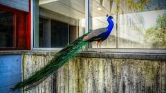#Frame it (YᗩSᗰIᘉᗴ HᗴᘉS +5 400 000 thx❀) Tags: frameit flickrfriday paon wonderful window windows hdr leica leicaq bird hensyasmine