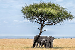 Elephant family  in the Masai Mara (janetfo747 ~ off and on for a while) Tags: elephant kenya shade tree group social