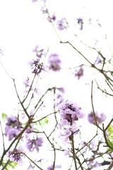 IMG_0665 - 麗閣邨 Lai Kok Estate (Mak_Ho) Tags: 藍花楹 jacaranda 麗閣邨 laikokestate 深水埗區 shamshuipodistrict 九龍 kowloon 香港 hongkong 攝影 photography 植物 vegetation 佳能 canon 700d 花 flower