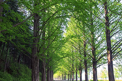 Metasequoia Trees (Johnnie Shene Photography(Thanks, 2Million+ Views)) Tags: metasequoia tree trees forest tall talltree nature natural wild wildlife livingorganism tranquility adjustment green leaf leaves shadow sunlight light lighteffect day travel destination attraction landmark damyang jeollanamdo korea asia interesting awe wonder sideview photography horizontal outdoor colourimage fragility freshness nopeople foregroundfocus lowangle elegance peace gorgeous road footpath trail canon eos600d rebelt3i kissx5 sigma 1770mm f284 dc macro lens 메타세콰이어 나무 숲 길 dawn redwood dawnredwood deciduous annual