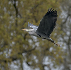 Grey Heron (mark.abrams81) Tags: