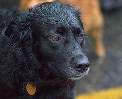 A Little Rain Today (swong95765) Tags: dog wet canine pet animal cutie alert aware chilly