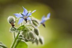 Belle et bonne (Gisou68Fr) Tags: bourrache bourracheofficinale boragoofficinalis canoneos650d ef100400mmf4556lisiiusm fleur bleu jardin garden flower blue