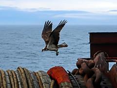 Osprey on an Oil Rig (Craig Hannah) Tags: osprey offshore oil gas platform rig northsea scotland uk fpso craighannah wildlife nature bird flying flight