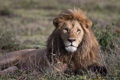 The King (Explore 5/2/2017) (tkfranzen) Tags: lion predator apexpredator ndutu tanzania africanlion africansafari roysafaris wildlifephotography naturephotography tnclivenature animalplanet
